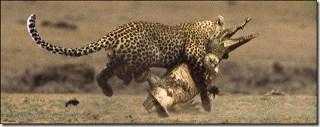 Поединок Леопарда и Крокодила