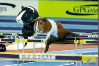 Морские свинки на Олимпиаде 2008