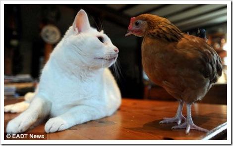 История одного цыпленка