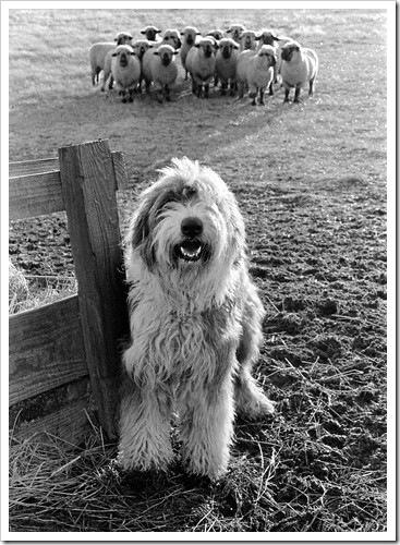 Собака фермер