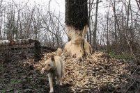 Осторожно: собака-бобёр !