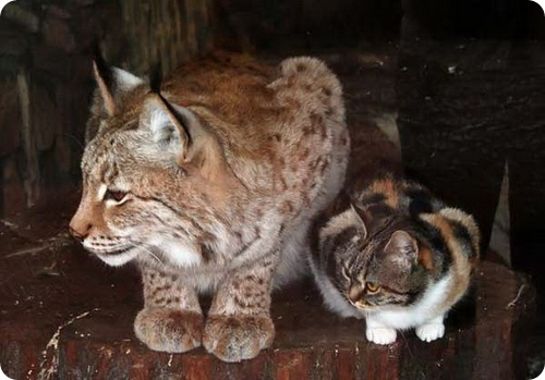 Кошка Дуся и рысь Линда
