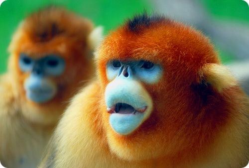 Золотистая обезьяна