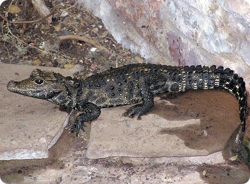 африканский тупорылый крокодил