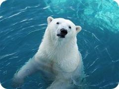 Пара молодых белых медведей из зоопарков Японии