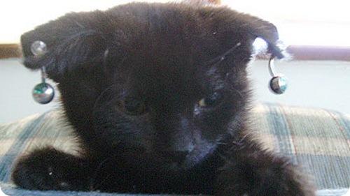 Пирсинг для кошки