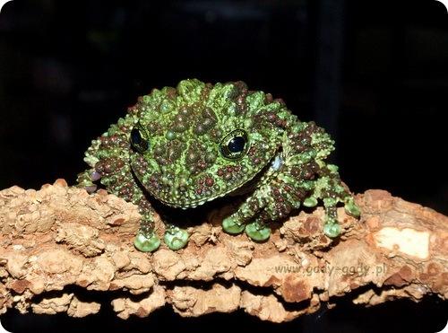 вьетнамская мшистая лягушка