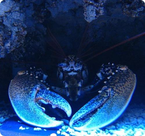 Ресторан отпустил гигантского омара на волю