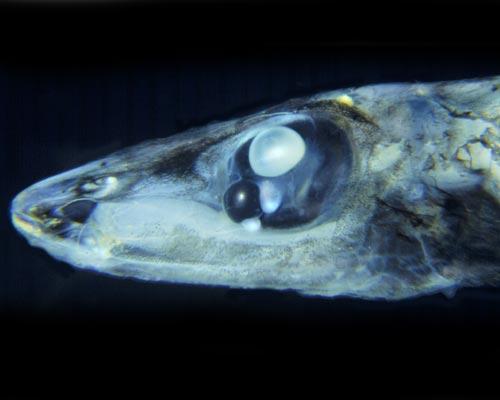 Четырехглазая рыба (лат. Bathylychnops exilis)