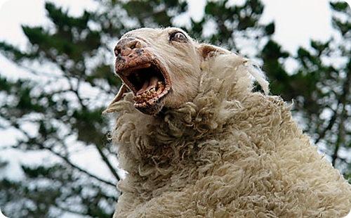 Жириновский за овцу-нарушительницу !