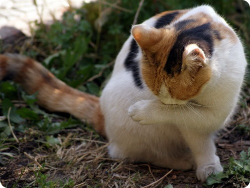 Кошки Сирии