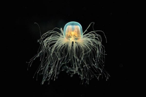 Бессмертная медуза (лат. Turritopsis nutricula)