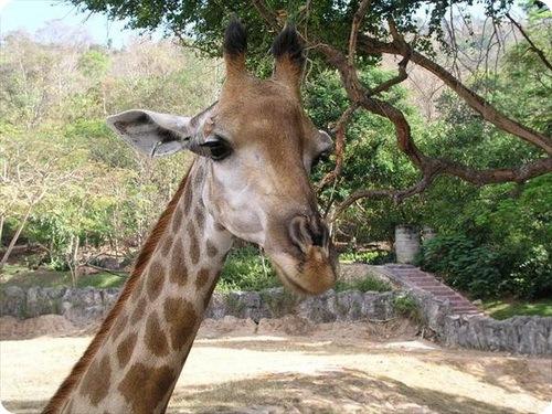 жираф Рафи