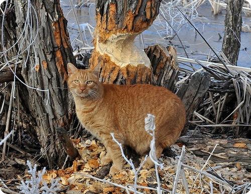 кот бобёр