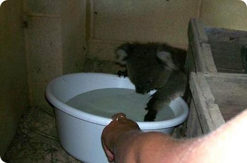 Как купаются Коалы