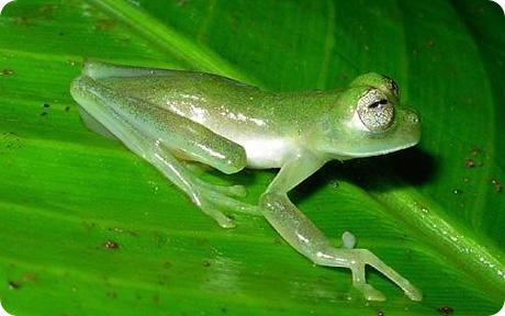 Glass Frog, Nymphargus