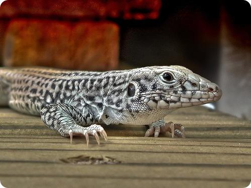 Почему ящерица отбрасывает хвост ?