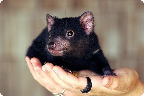 Тасманский дьявол