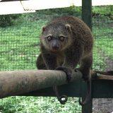 Сулавесский медвежий кускус