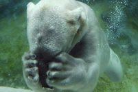 Животные, которых может убить глобальное потепление
