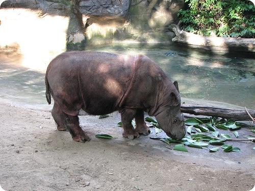 Суматранские носороги