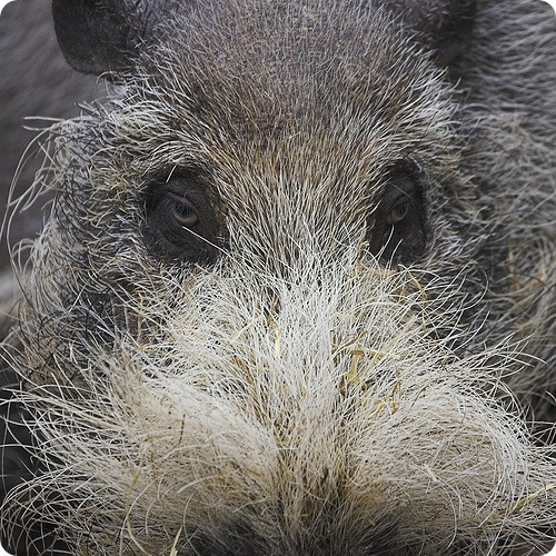 Бородатая свинья