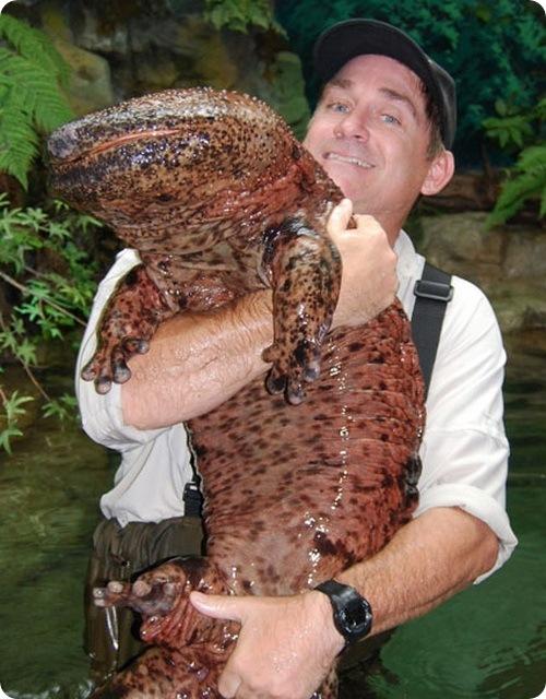 Картинки по запросу Исполинская саламандра
