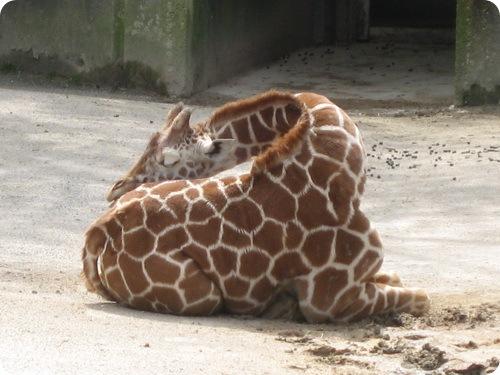 Как спит жираф ?