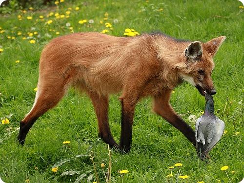 Гривастый волк