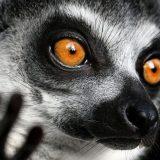 Кошачий или кольцехвостый лемур