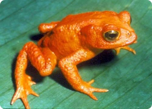 Золотая лягушка.