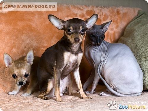 Друзья: щенок чихуахуа – собака той терьера – кошка донского сфинкса