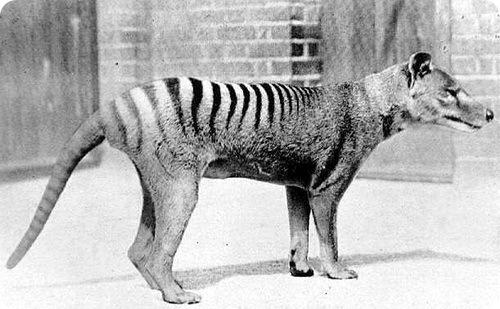 Тилацин - тасманский сумчатый тигр
