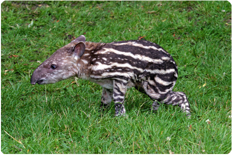 Южно-Американский Тапир