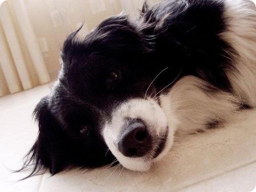 Самой умной породой собак признана бордер колли
