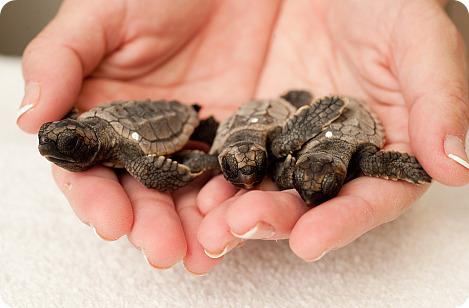 Детеныши головастой морской черепахи