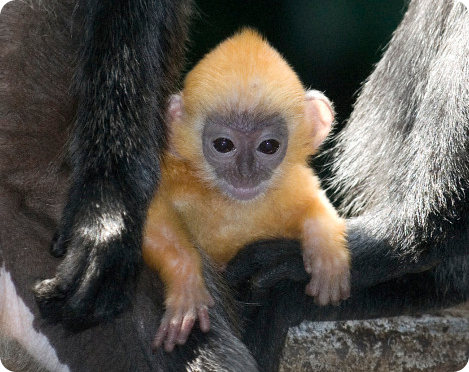 Познакомьтесь с малышом-лангуром, увидевшим свет в зоопарке города Коламбус