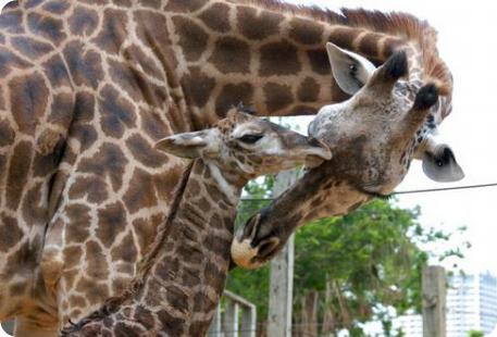 Зоопарк Хьюстона выращивает очередного гиганта
