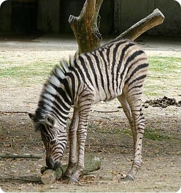 Полосатый новорожденный в бельгийском зоопарке