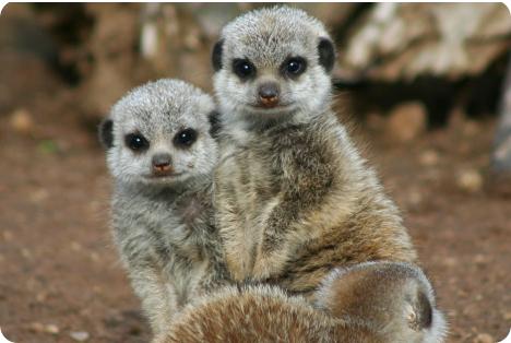 Малыши-сурикаты в зоопарке Белфаста