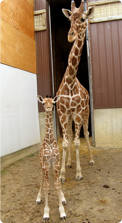 Двухмесячный детёныш жирафа зоопарка Биндер