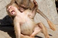 Маленькие бабуины-вампиры :)