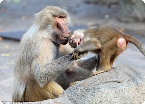 Шумные маленькие бабуины демонстрируют себя