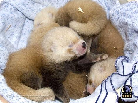 Четверка новорожденных в зоопарке Денвера