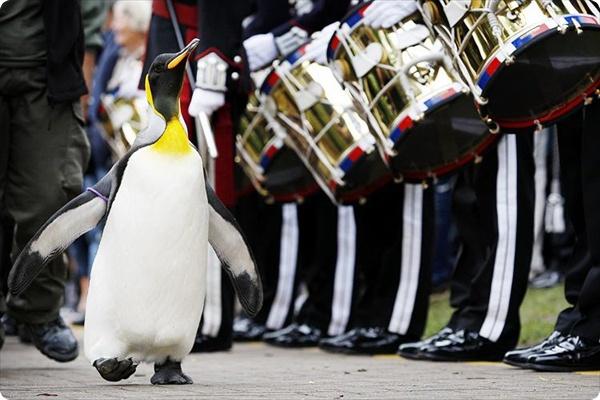 Пингвин Нильс Олаф III возведен в рыцарское звание