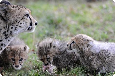 Детеныши гепарда в зоопарке Базеля