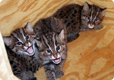 Кошки-рыболовы в Цинциннати