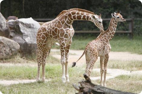Детеныш жирафа в зоопарке Ривербанк подрос