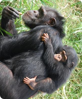 Кроха шимпанзе дебютирует в зоопарке Оклахомы