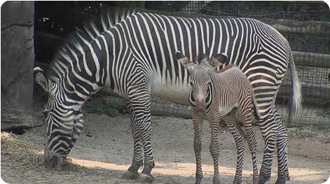 Познакомьтесь с зеброй по имени Марти